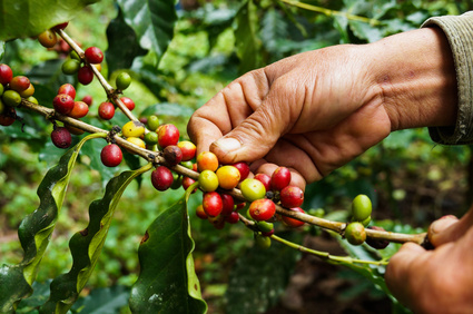 Coffee berries. Some ripe, some ripening.